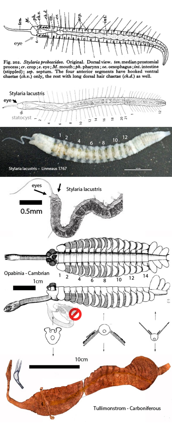 Figure 1. Comparing the extant worm, Stylaria to Cambrian Opabinia and Carboniferous Tullimontrom. All three share a similar morphology that has not been fully explored yet.