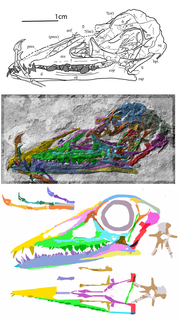 Figure 3. Bergamodactylus skull in situ and reconstructed. Wild 1978 tracing above.