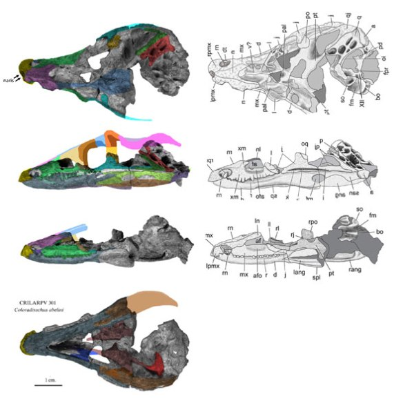 Figure 1. Coloradisuchus skull from Martinez, Alcover and Pol 2017. Colors added.