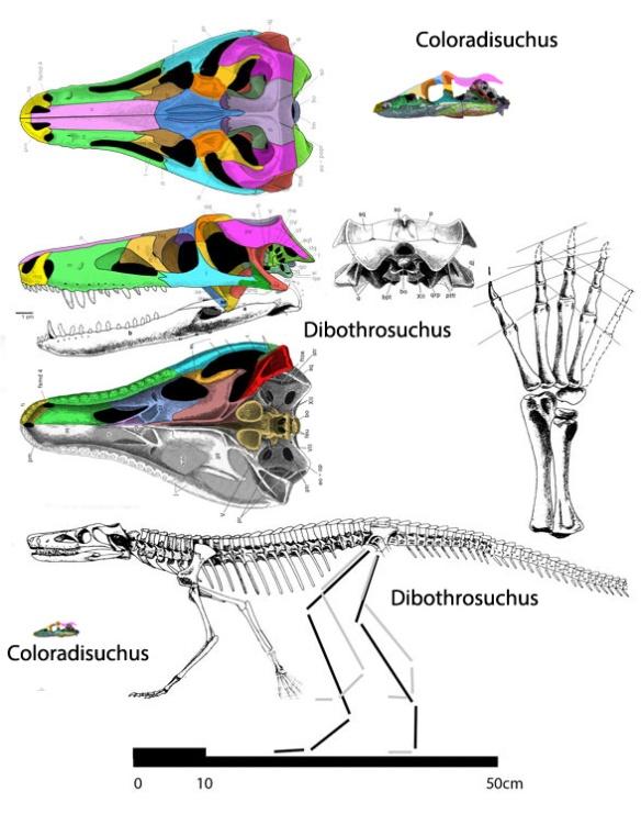Figure 2. Dibothrosuchus compared to scale with the much smaller Coloradisuchus.