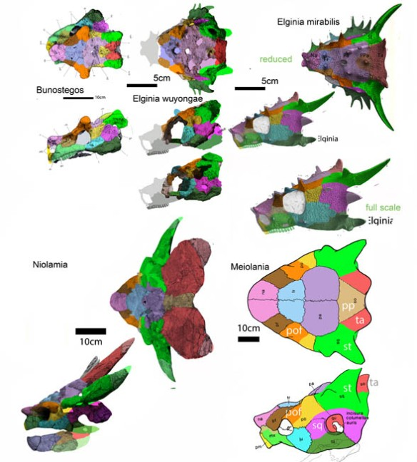 Figure 4. Bunostegos and Elginia at the base of hard shell turtles in the LRT, where late-surviving Niolamia and Meiolania are basal hardshell turtles more primitive than Proganochelys and Palaeochesis. Not all colors here match those in figure 1. Note the labels.