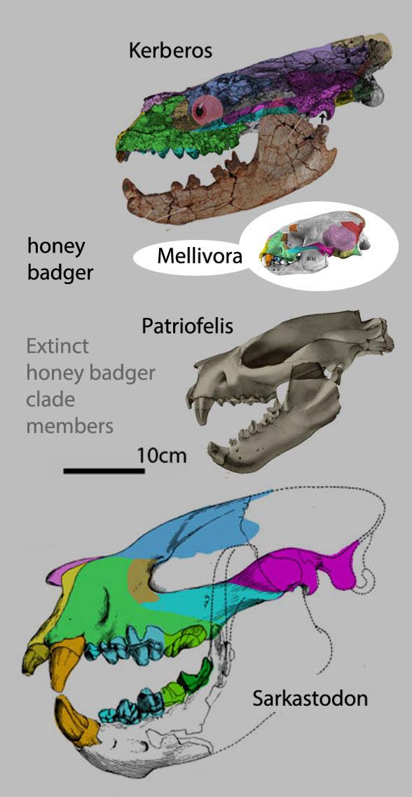 Figure 1. The honey badger clade, Kerboros, Patriolfelis and Sarkastodon. The only living representative is Mellivora to scale.