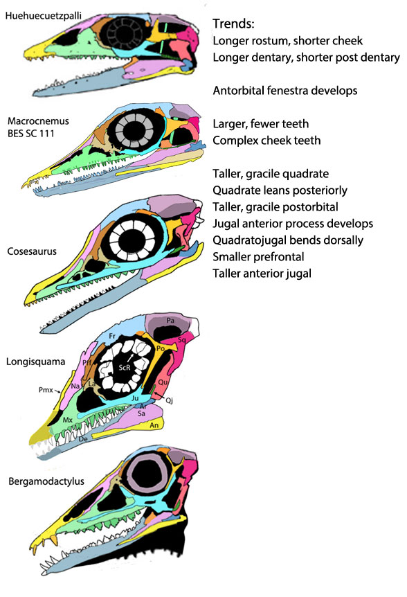 Figure 1. Skulls of pterosaur ancestors from Huehuecuetzpalli through Macrocnemus, Cosesaurus, Longisquama and the pterosaur Bergamodactylus.