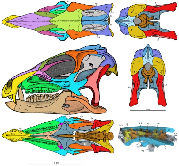 Figure 7. Heterodontosaurus skull. Note the fused premaxillae, overhanging nasals and pmx/mx notch for a lower fang.