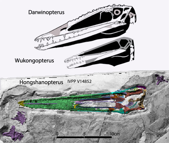 Figure 1. Hongshanopterus in situ compared to Darwinopterus and Wukongopterus.