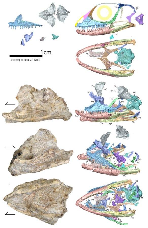 Figure 1. Kopidosaurus perplexus in situ and µCT scans from Scarpetta 2020. Reconstruction added here.