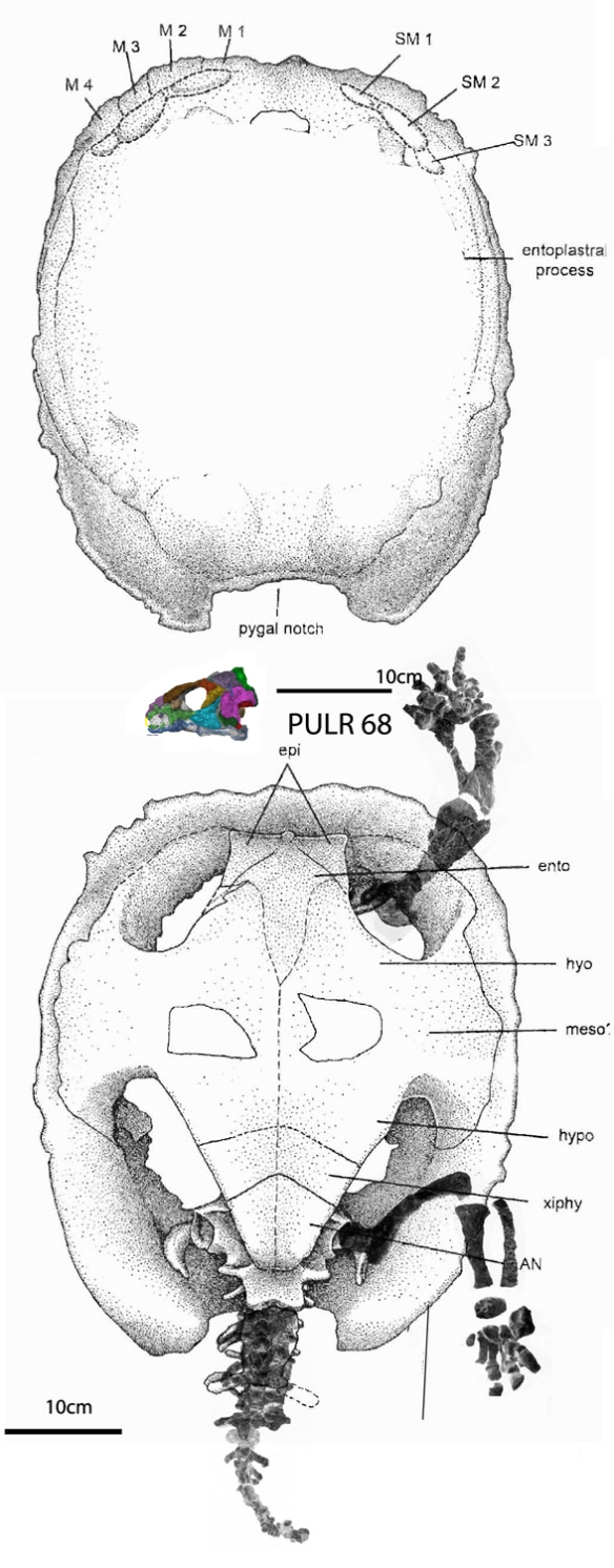 Figure 2. Palaeochersis overall reconstructed from elements in Sterli, de al Fuente and Rougier 2007. This Triassic turtle nests in the LRT with Proganochelys in figure 3.
