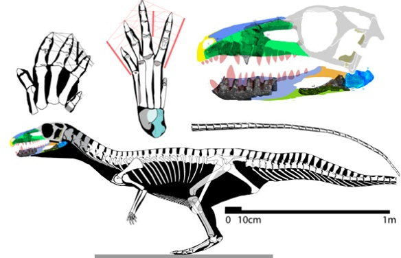 Figure 1. Poposaurus skeleton and skull. Proportions indicate bipedal configuration.