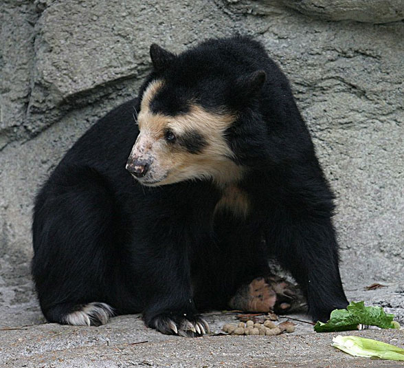 Figure 1. Tremarctos ornatus, the spectacled bear of South America, nests with the South American bush dog (Fig. 2) in the LRT (figure 3).