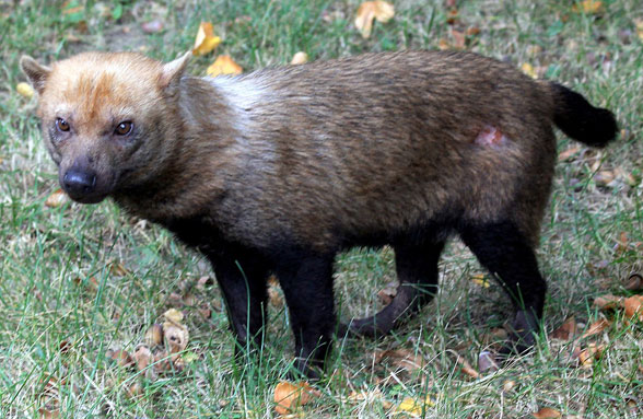 Figure 2. The South American bush dog, Speothos, nests with the South American spectacled bear, Tremactos, in the LRT.