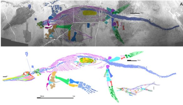 Figure 1. The XNGM-WS-53-R4 specimen does not nest with Guizhouichthys but with Shonisaurus and has a distinct morphology.