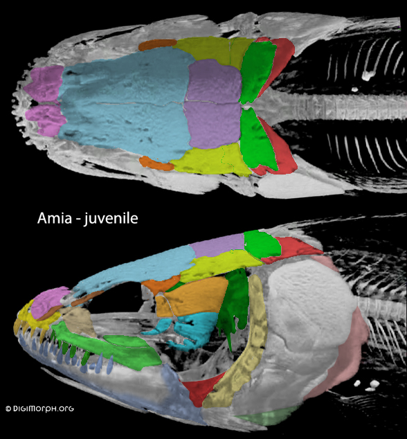 Figure 1. Amia juvenile with DGS colors added. Image from Digimorph.org and used with permission.