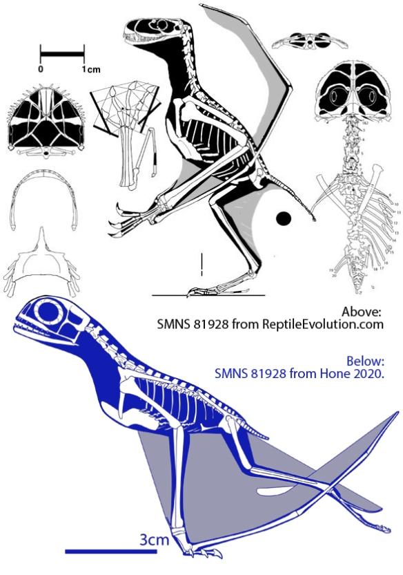 Figure 1. The SMNS 81928 anurognathid specimen.