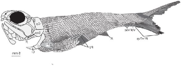 Figure 1. Bluefieldius in situ from Mickle 2018 shown many times larger than life size.