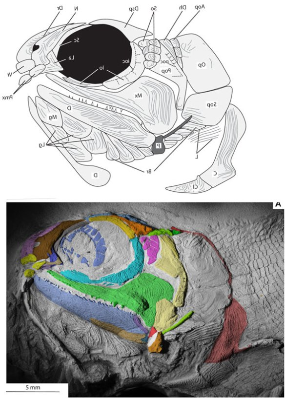 Figure 2. The skull in situ and diagram of Bluefieldius from Mickle 2018, Colors added here to match tetrapod homologs.