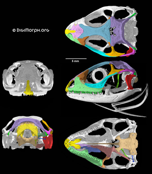Figure 2. Chalarodon skull in 5 views. Images from Digimorph.org and used with permission.