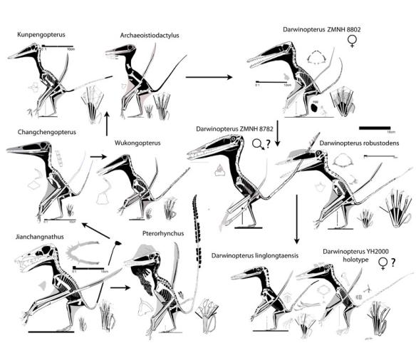 Figure 7. Darwinopterus specimens and a few outgroup taxa.