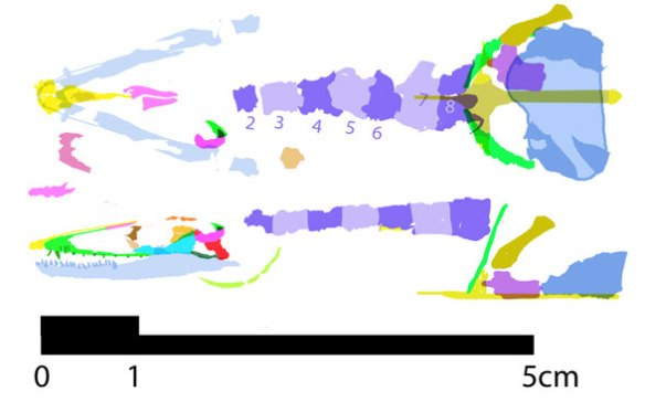 Figure 2. Feralisaurus reconstructed in lateral and dorsal views.