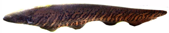 Figure x. Gymnotus carapo in vivo.