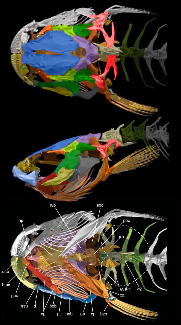Figure 3. Skull of Kryptoglanis, a knife fish, not a catfish.