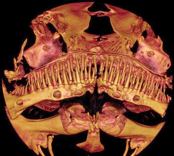 Figure 1. The uncatfish-like teeth of Kryptoglanis in anterior view.