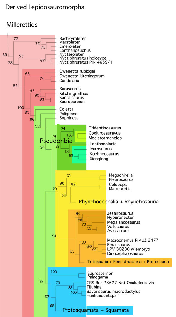 Figure 2. Derived lepidosauriformes. The clade Pseudoribia includes the pseudo-rib gliders