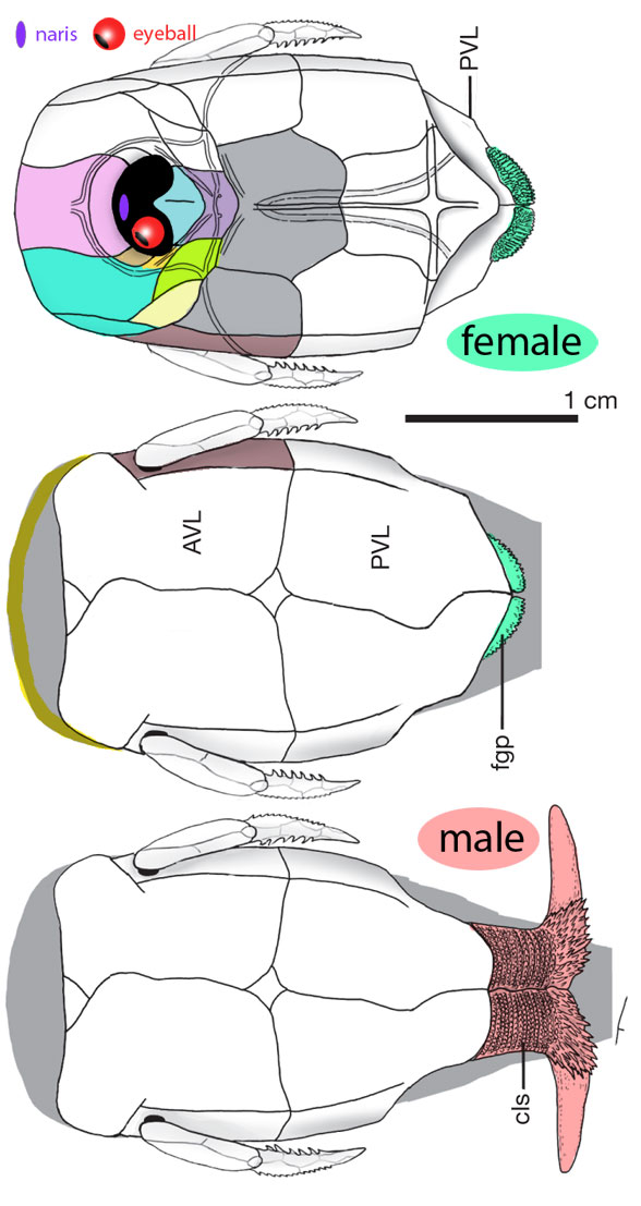 Figure 1. Microbrachius dicki female and male (with dual lateral penis) specimens several times larger than life size.