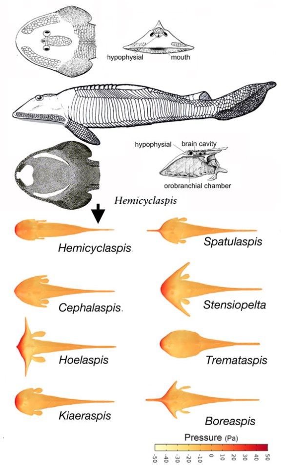Figure 1. Hemicyclaspis and a variety of other osteostracans in dorsal view created by Ferrón et al. 2020 to test their hydrodynamics.