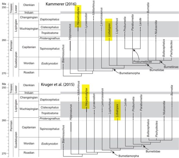 Figure 4. More recent cladograms that include Herpetoskylax and Lobalopex.
