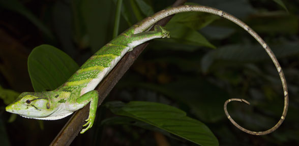 Figure 3. The monkey lizard, Polychrus, in vivo.