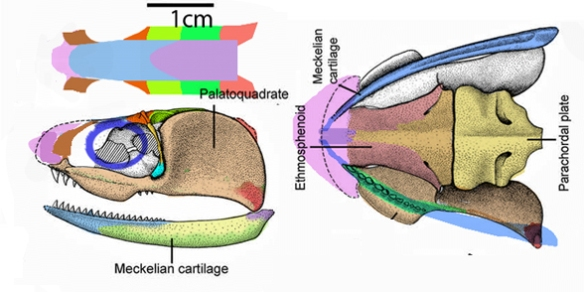 Figure 2. A rare early Devonian pre-shark, Pucapampella rodrigae, from Janvier & Suarez-Riglo 1986, colors added. Dorsal surface imagined from clues provided. Note the palatoquadrate and Meckelian cartilage are composed of several bony cartilage precursors fused together.