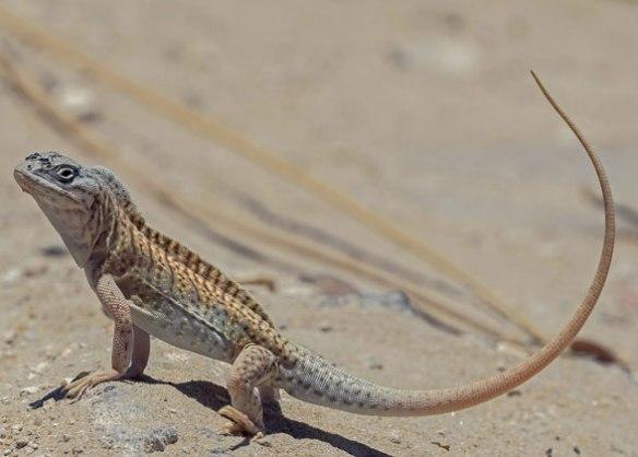 Figure 1. The three-eyed lizard, Chalarodon, in vivo.