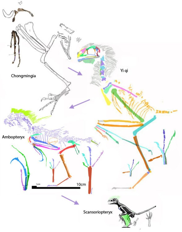 Figure 3. Ambopteryx nests midway and is phylogenetically midway between the larger Yi and the smaller Scansoriopteryx. None of these taxa have an extra long bone in the arm.