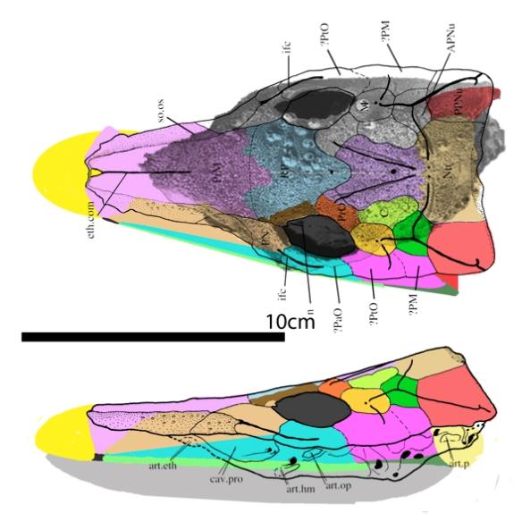 Figure 1. Brindabellaspis skull from King et al. 2020. Colors added here.