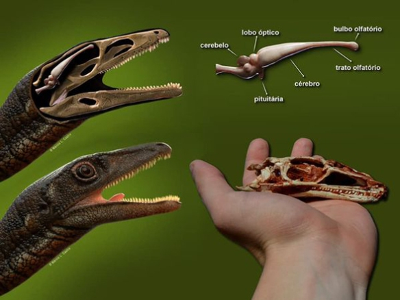 Figure 1. From Müller et al. 2020, images of Buriolestes, its skull and brain. The presence of scales on this basal dinosaur is imaginary. Living dinosaurs (birds) do not have scales on the face and neck.
