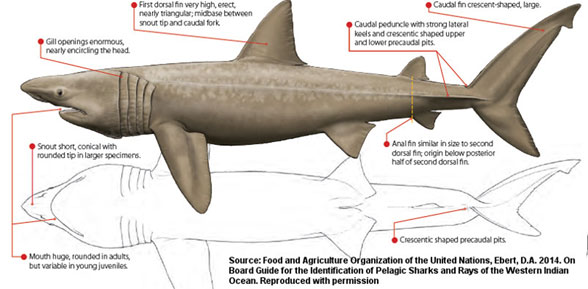 FiIgure 1. The basking shark, Cetorhinus maximus, in lateral and ventral views.