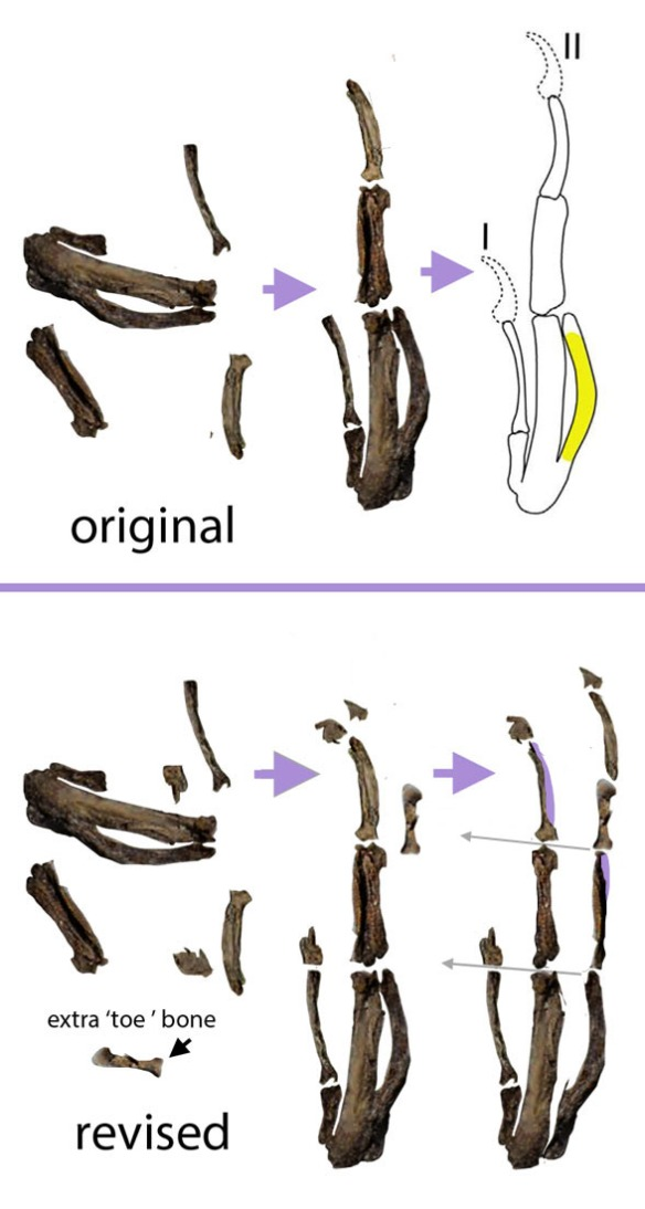 Figure 2. Wang et al. did not separate the overlapping phalanges or recognize the manus unguals, or recognize the extra finger phalanx displaced near the toe phalanges.