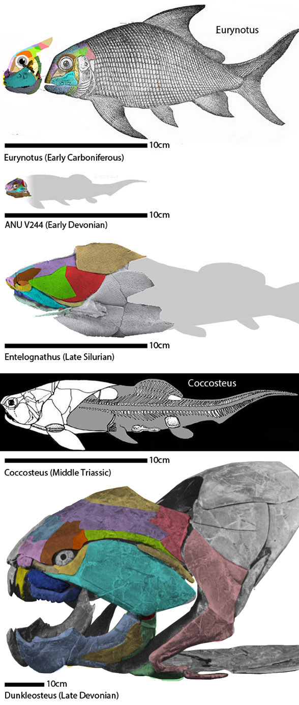 Figure 3. Arthrodires and their ancestor, Euryodus. See figure 2 for Euryodus ancestors. Note the phylogenetic miniaturization at the origin of the arthrodires.
