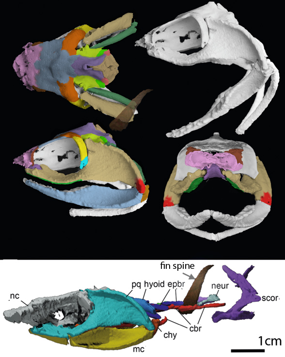 Figure 1. Ferromirum a Late Devonian shark in several views from Frey et al. 2020 and colorized here.