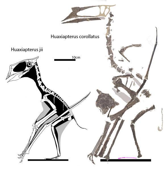 Figure 3. Huaxiaptrus iii and Huaxiapterus corollatus to scale. These two do not nest next to one another in the LPT.