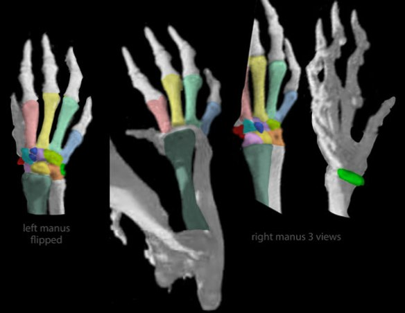 Figure 7. Manus and wrist of the extant tenrec Hemicentetes (from Digimorph.org and used with permission). Colors added. Compare to related taxa in figures 1 and 6.