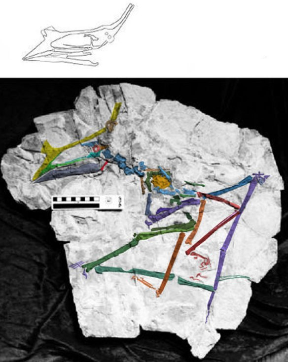 Figure 1. Huaxiapterus benxiensis (BXGM V 0011) in situ, largely complete, crushed and articulated.