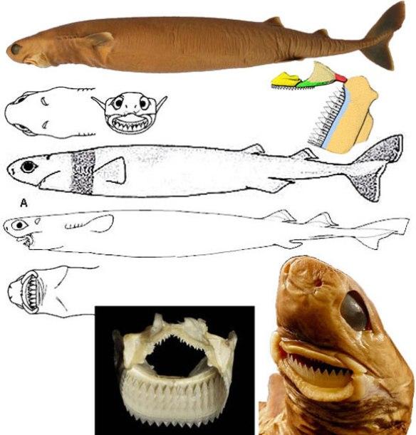 Figure 2. Isistius brasiliensis in several views.