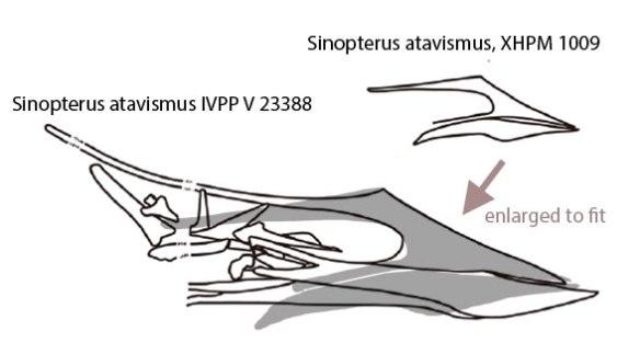 Figure 3. Sinopterus atavismus size comparison