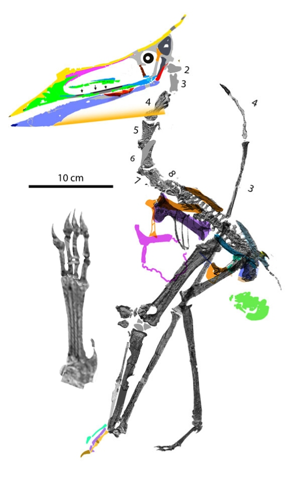Figure 2. Sinopterus atavismus reconstruction.