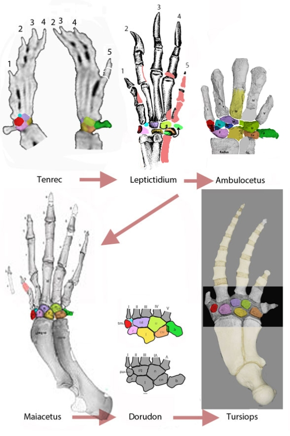 Figure 1. Odontocete flipper and ancestral taxa manus. Homologous wrist elements are colored the same. Green is the pisiform, missing in the dolphin, Tursips. Ambulocetus image from Gavazzi et al. 2020 and repaired here. Dorudon image from Cooper et al. 2007 and repaired here.