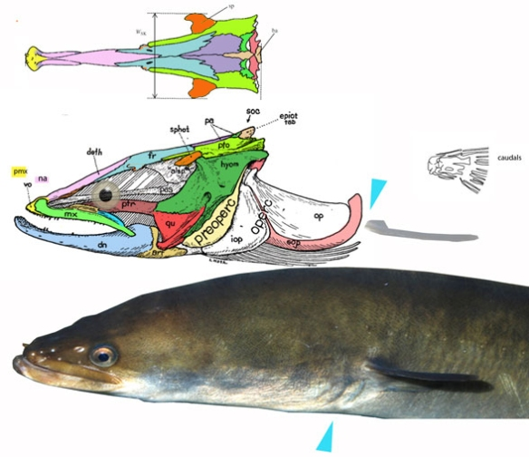 Figure 5. Skull of Anguilla, the European eel, compares well with that of Bavarichthys. Note the loss and reduction of preorbital bones.
