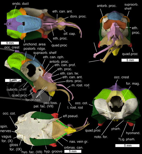 Figure 7. Callorhinchus milii skull in several views. All the cartilage is fused here, so color identifies elements. Note the tactile rostral elements are smaller and not associated with the premaxilla (contra Didier 1995).