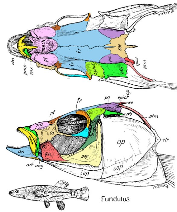 Figure 3. The four-eyed fish, Anableps, from three data sources. Compare to Fundulus in figure 4.