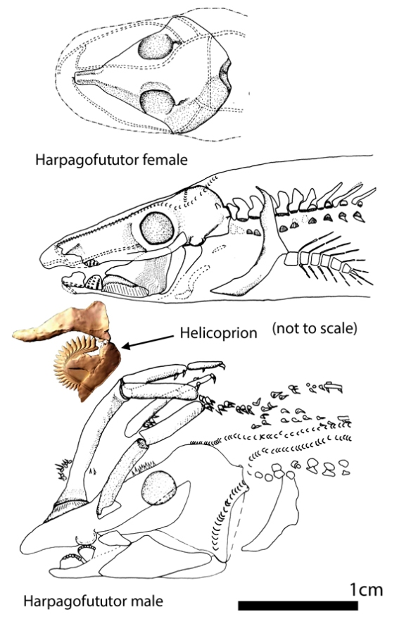 Figure 5. Harpagofututor male and female skulls. Added here is the best partial skull of the buzz tooth shark, Helicoprion.